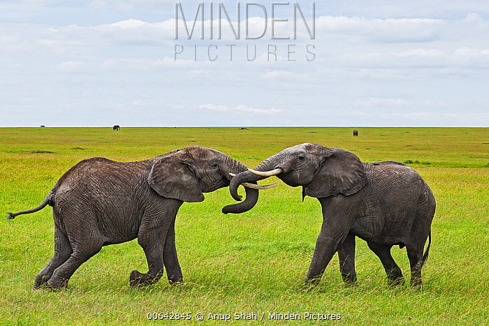 African Elephant (Loxodonta africana) juveniles play-fighting, Masai Mara, Kenya