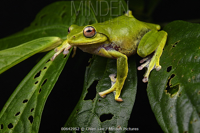 Penan Flying Frog (Leptomantis penanorum) female, the species lives on only a single mountain, Mount Mulu, new species described in 2008, Sarawak, Borneo, Malaysia
