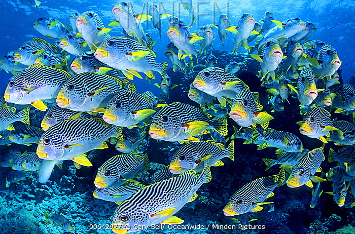 Diagonal-banded Sweetlips (Plectorhinchus lineatus) school, Great Barrier Reef, Queensland, Australia