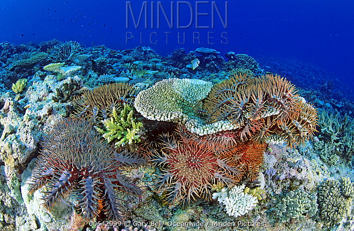 Crown-of-thorns Starfish (Acanthaster planci) group feeding on coral, Great Barrier Reef, Queensland, Australia