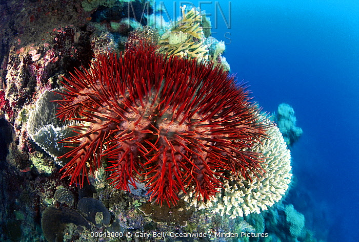 Crown-of-thorns Starfish (Acanthaster planci) feeding on coral, Great Barrier Reef, Queensland, Australia