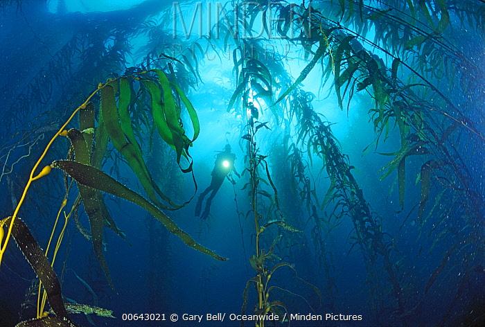 Giant Kelp (Macrocystis pyrifera) forest and scuba diver, Tasman Peninsula, Tasmania, Australia