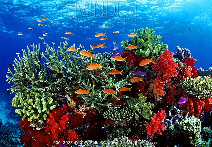 Sea Goldie (Pseudanthias squamipinnis) school, Great Barrier Reef, Queensland, Australia