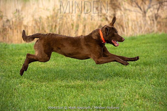 Chesapeake Bay Retriever (Canis familiaris) running, North America