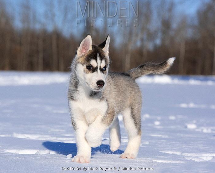 Siberian Husky (Canis familiaris) puppy running in winter, North America