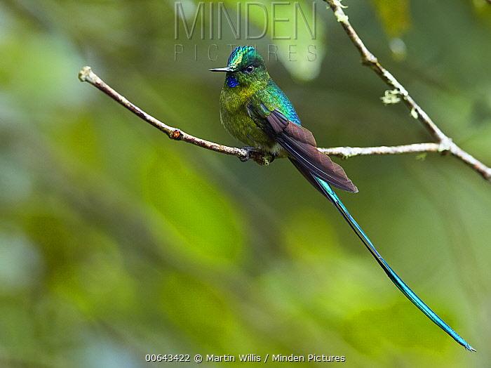 Long-tailed Sylph (Aglaiocercus kingi) hummingbird, Andes, Ecuador