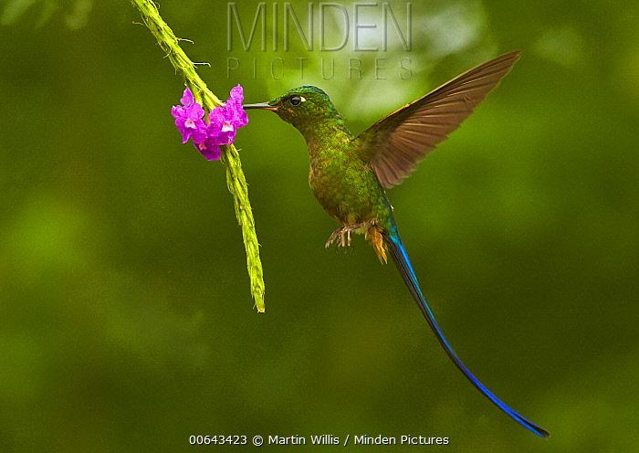 Long-tailed Sylph (Aglaiocercus kingi) hummingbird feeding on flower nectar, Andes, Ecuador