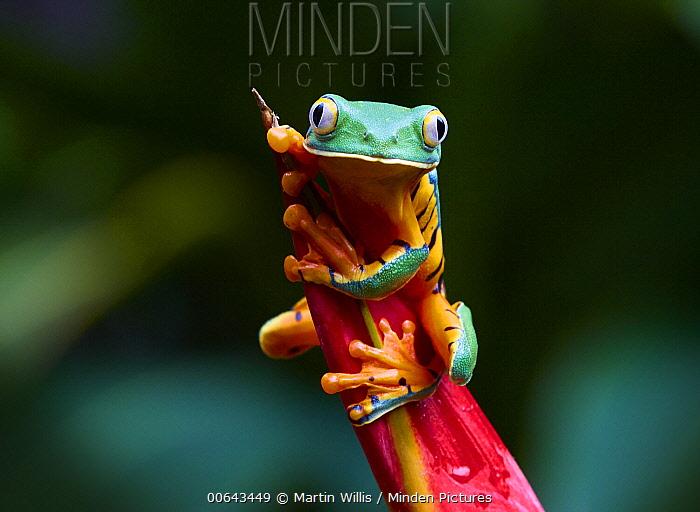 Splendid Leaf Frog (Agalychnis calcarifer), La Paz Waterfalls, Costa Rica