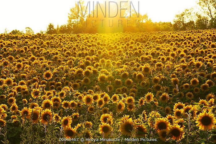 Common Sunflower (Helianthus annuus) flowers at sunset, Biei, Hokkaido, Japan