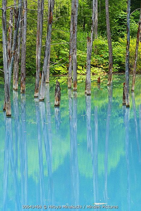 Asian White Birch (Betula platyphylla) trees in pond, Hokkaido, Japan