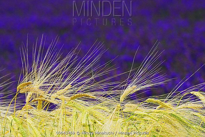 Two-rowed Barley (Hordeum vulgare) grain, Hurano, Hokkaido, Japan