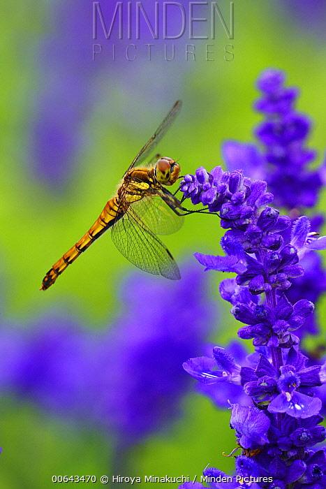 Common Skimmer (Sympetrum frequens) dragonfly, Biei, Hokkaido, Japan