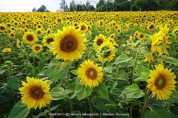 Common Sunflower (Helianthus annuus) flowers, Biei, Hokkaido, Japan