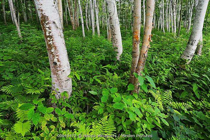 Asian White Birch (Betula platyphylla) forest, Nagano, Japan