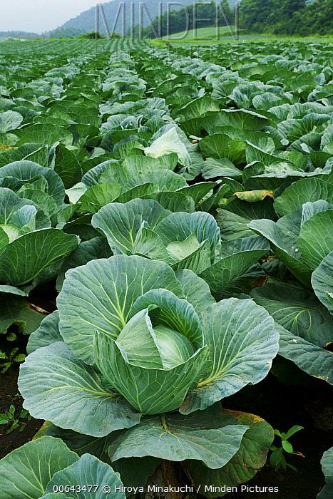 Cabbage (Brassica oleracea) field, Tsumagoi, Gunma, Japan
