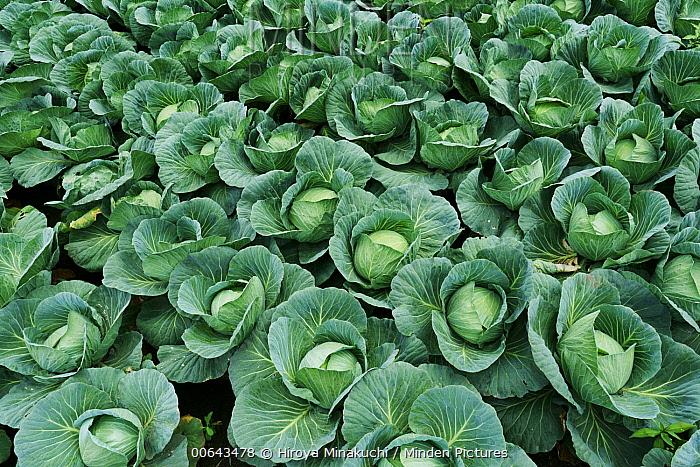 Cabbage (Brassica oleracea), Tsumagoi, Gunma, Japan