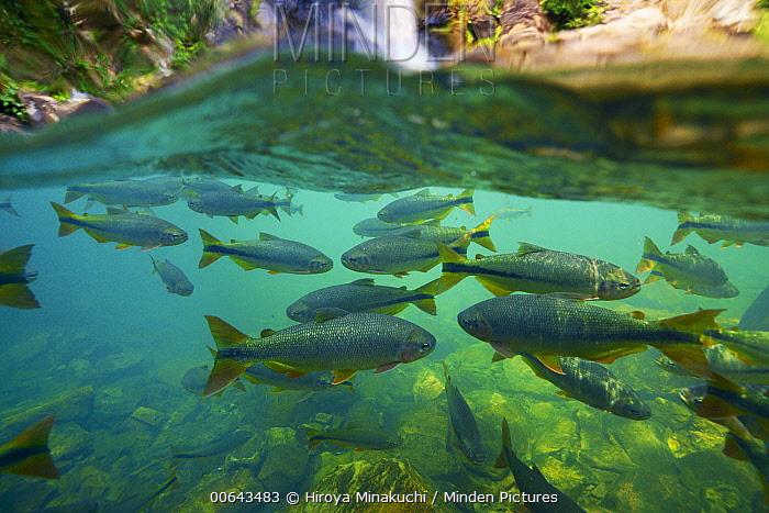 Fish (Brycon microlepis) group, Pantanal, Brazil