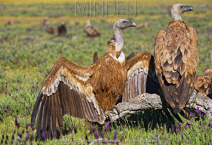 Griffon Vulture (Gyps fulvus) group at feeding station, Spain