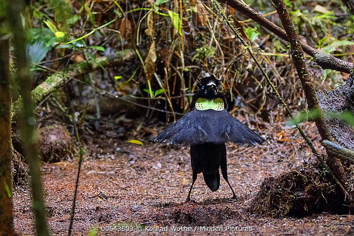 Lawes's Parotia (Parotia lawesii) male displaying, Papua New Guinea