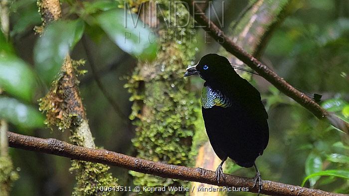 Lawes's Parotia (Parotia lawesii) male, Papua New Guinea
