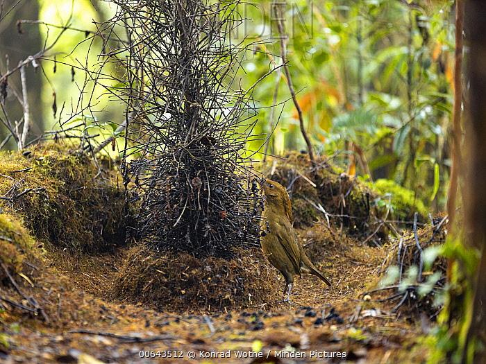 Macgregor's Bowerbird (Amblyornis macgregoriae) male decorating display site, Papua New Guinea