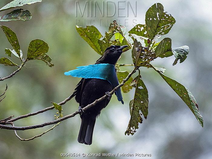Superb Bird-of-paradise (Lophorina superba) male displaying, Papua New Guinea