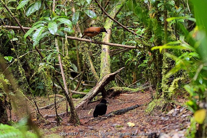Lawes's Parotia (Parotia lawesii) male and female, Papua New Guinea