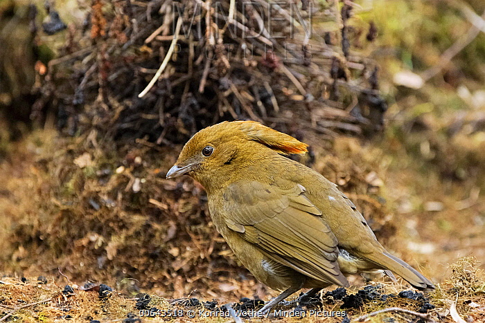 Macgregor's Bowerbird (Amblyornis macgregoriae) male at display site, Papua New Guinea