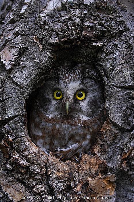 Boreal Owl (Aegolius funereus) female in nest cavity, Alaska