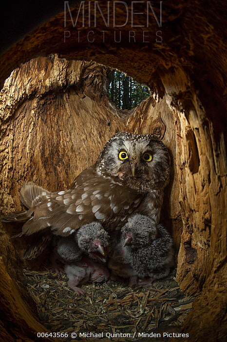 Boreal Owl (Aegolius funereus) mother and owlets in nest cavity, Alaska