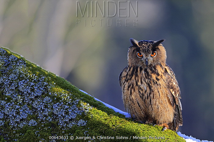 Eurasian Eagle-Owl (Bubo bubo) in winter, Bohemian-Moravian Highlands, Czech Republic