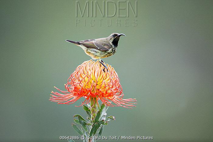Amethyst Sunbird (Nectarinia amethystina) female on Pincushion (Leucospermum sp) flower, Herolds Bay, Western Cape, South Africa