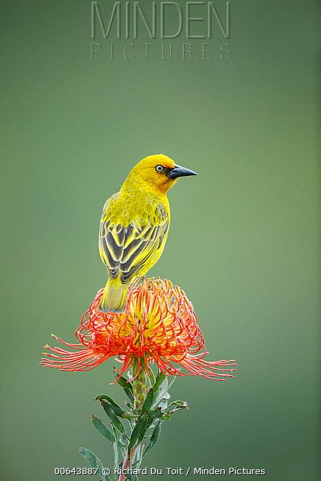 Cape Weaver (Ploceus capensis) male on Pincushion (Leucospermum sp) flower, Herolds Bay, Western Cape, South Africa
