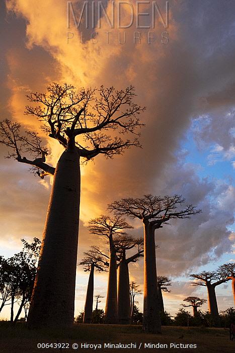 Baobab (Adansonia sp) trees at sunset, Madagascar