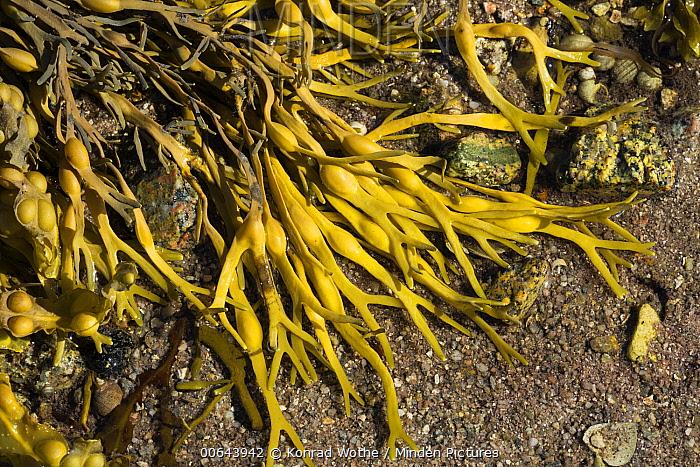 Knotted Wrack (Ascophyllum nodosum), Ireland