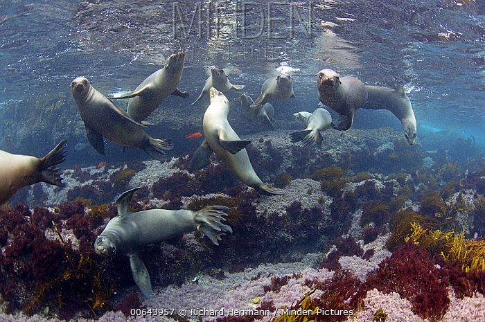 California Sea Lion (Zalophus californianus) group, Coronado Islands, Baja California, Mexico