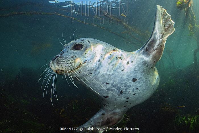 Harbor Seal (Phoca vitulina), Monterey Bay, California