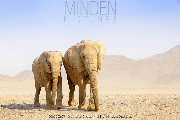 African Elephant (Loxodonta africana) desert-adapted pair, Kaokoland, Namibia