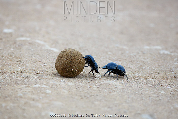 African Scarab Beetle (Circellium bacchus) pair rolling dung, Addo National Park, South Africa