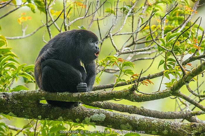 Mantled Howler Monkey (Alouatta palliata) calling, Costa Rica