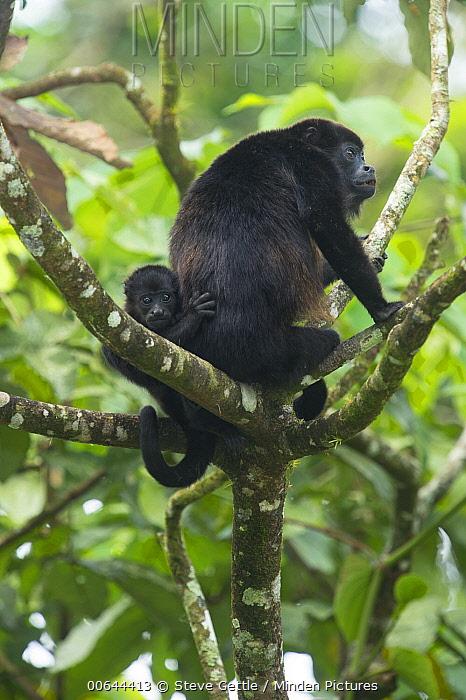Mantled Howler Monkey (Alouatta palliata), Costa Rica