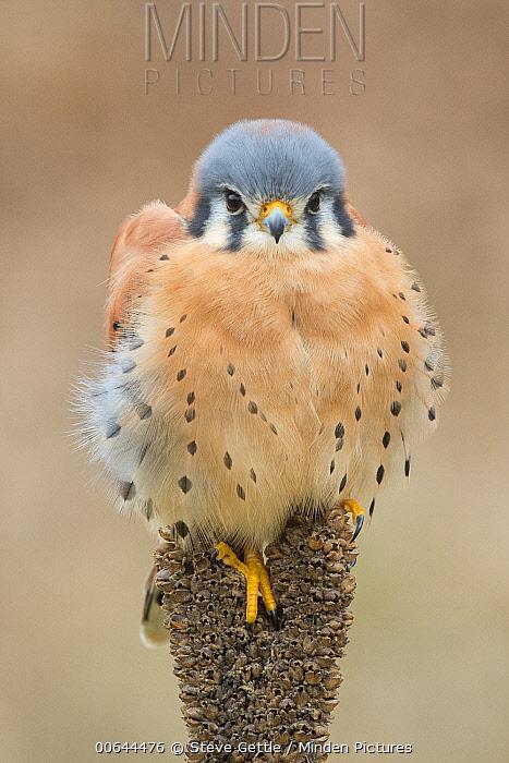 American Kestrel (Falco sparverius) male, Howell Nature Center, Michigan