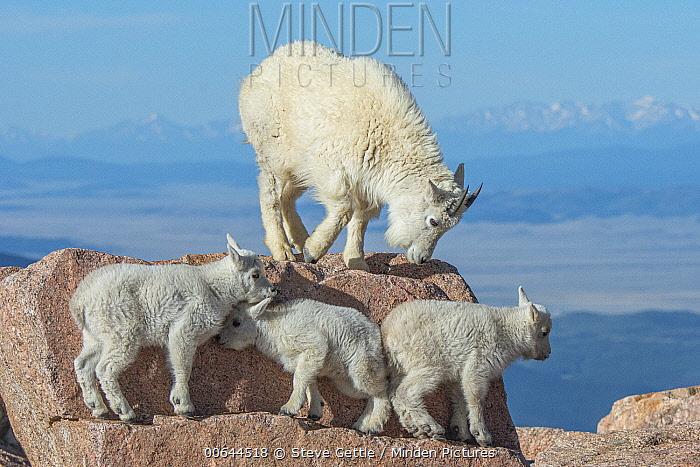 Mountain Goat (Oreamnos americanus) mother and kids, Mount Evans, Colorado