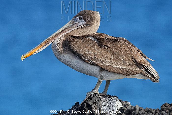 Brown Pelican (Pelecanus occidentalis) juvenile, Galapagos Islands, Ecuador