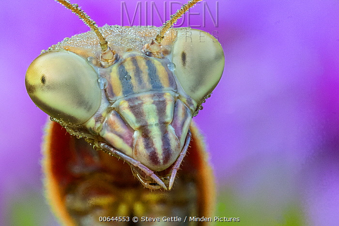 European Mantid (Mantis religiosa) head showing compound eyes, Brighton Recreation Area, Michigan