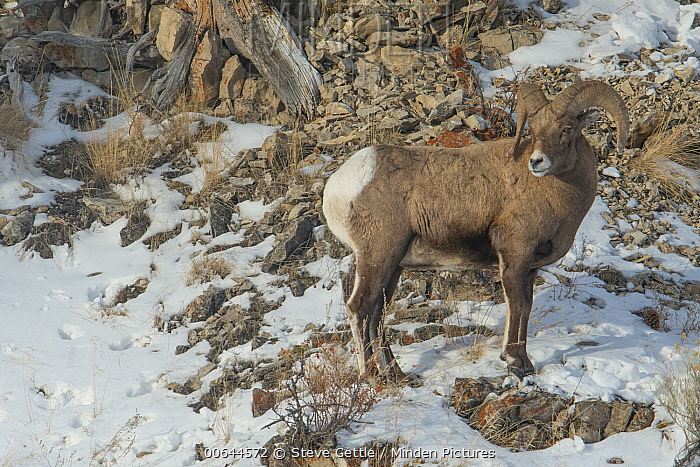 Bighorn Sheep (Ovis canadensis) ram in winter, Yellowstone National Park, Wyoming
