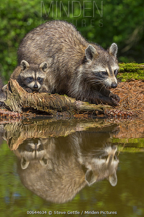 Raccoon (Procyon lotor) parent and young, Brighton Recreation Area, Michigan