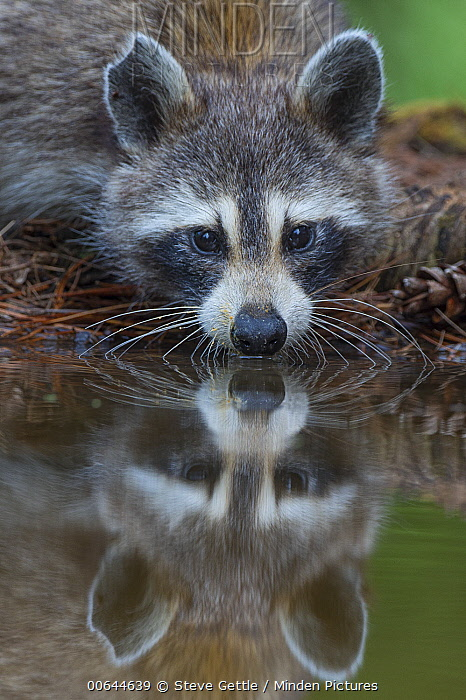 Raccoon (Procyon lotor) drinking at pond, Brighton Recreation Area, Michigan