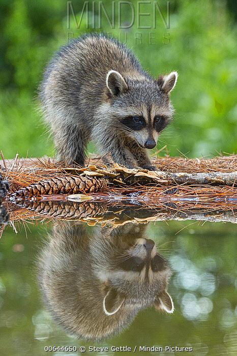 Raccoon (Procyon lotor) young at pond, Brighton Recreation Area, Michigan