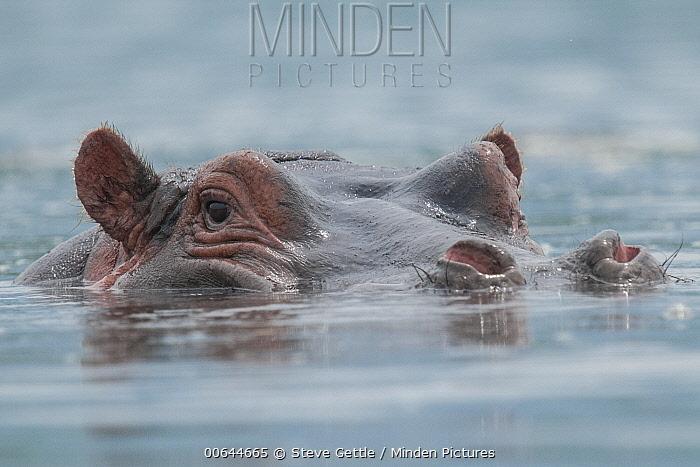 Hippopotamus (Hippopotamus amphibius) at water surface, Ngorongoro Crater, Ngorongoro Conservation Area, Tanzania